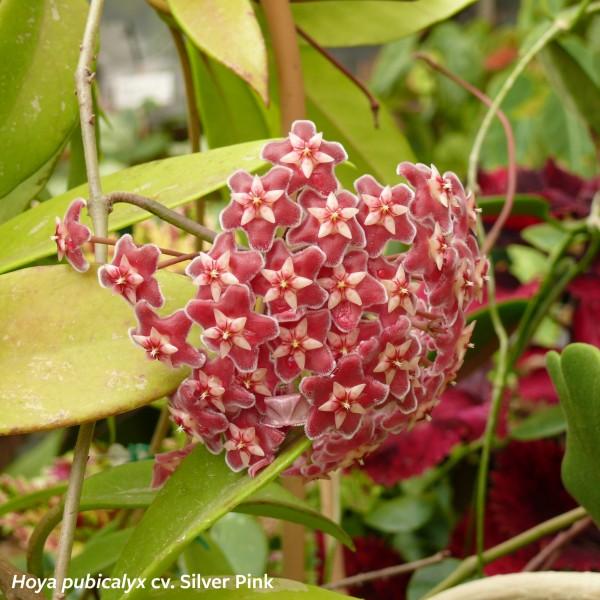 ASCLEPIADACEAE Hoya pubicalyx cv. Silver Pink