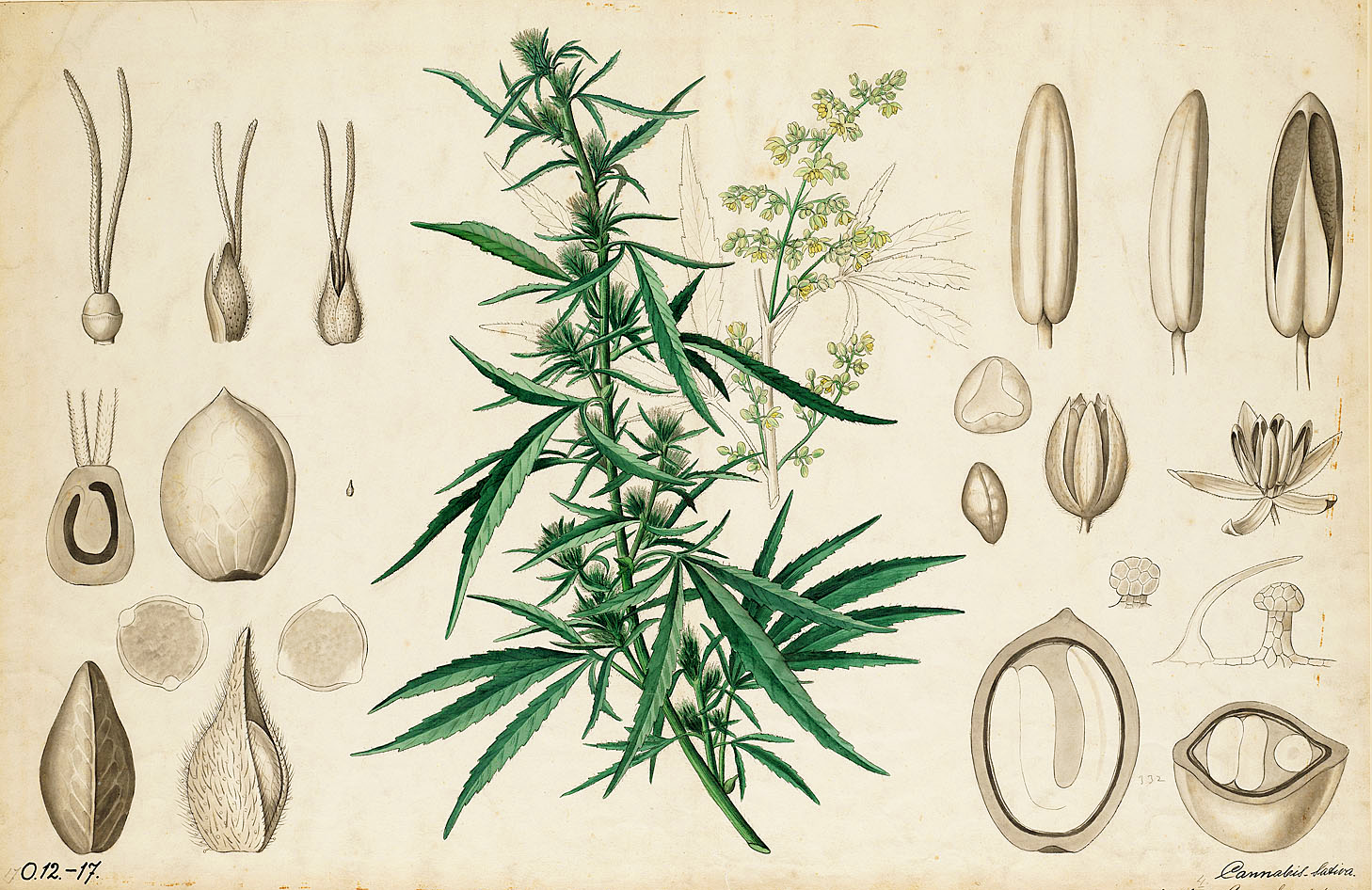 cannabis evolution and ethnobotany pdf