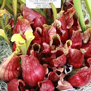 Carnivorous-plant-display