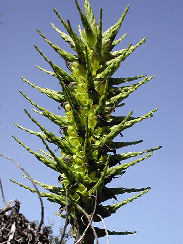 S-AmPuya-chilensis