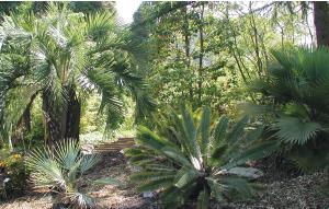 cycad-palm