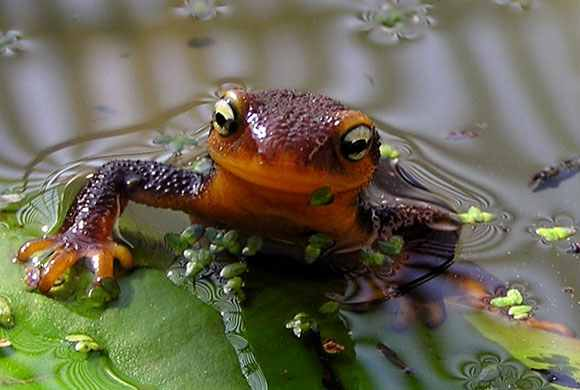 Nice If Youu0027d Like To Learn More About Our Garden Newts, Here Is A Podcast