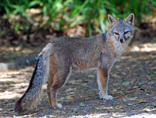 Gray Fox (Urocyon cinereoargenteus) by Melanie Hofmann