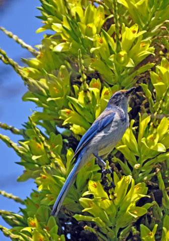 Western Scrub-Jay feeding from blossoms of Puya chilensis in the South American Area by Melanie Hofmann
