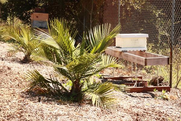 Jubea palm plantation 8-23-2011 1-52-10 PM