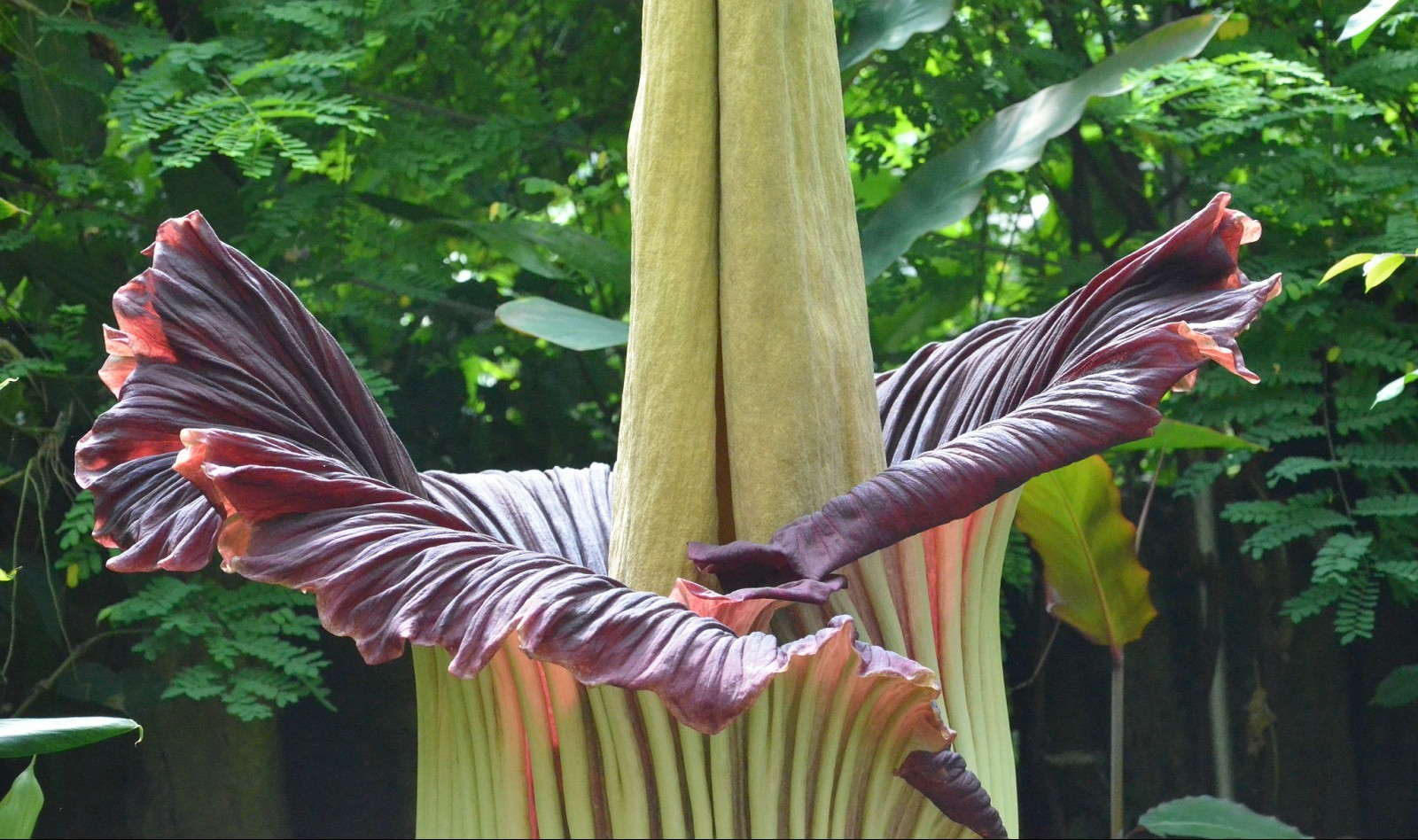 Titan_Arum_at_Bayreuth_University_-_Second_Day_11 (2)