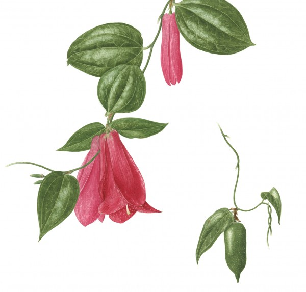 Watters Lapageria rosea
