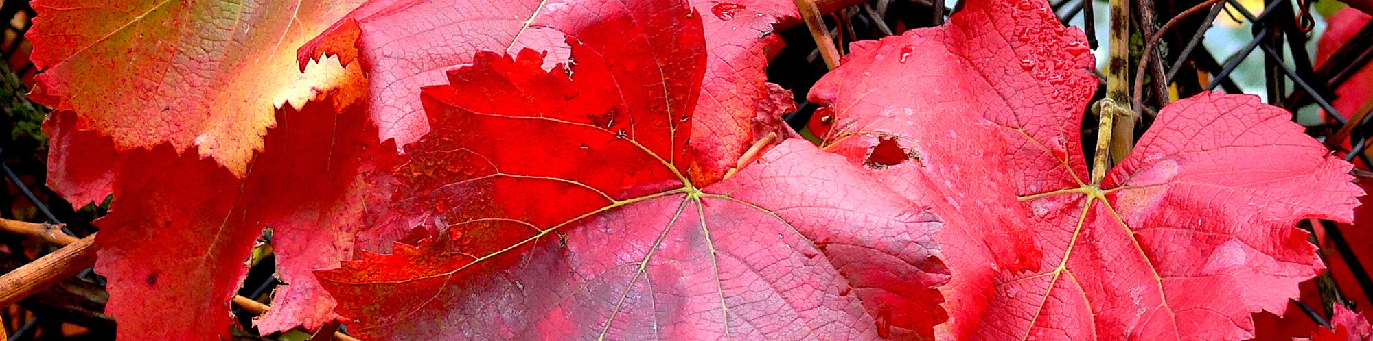 """VITIS CALIFORNICA – """"ROGER'S RED"""""""
