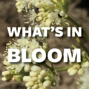 What's in Bloom - July
