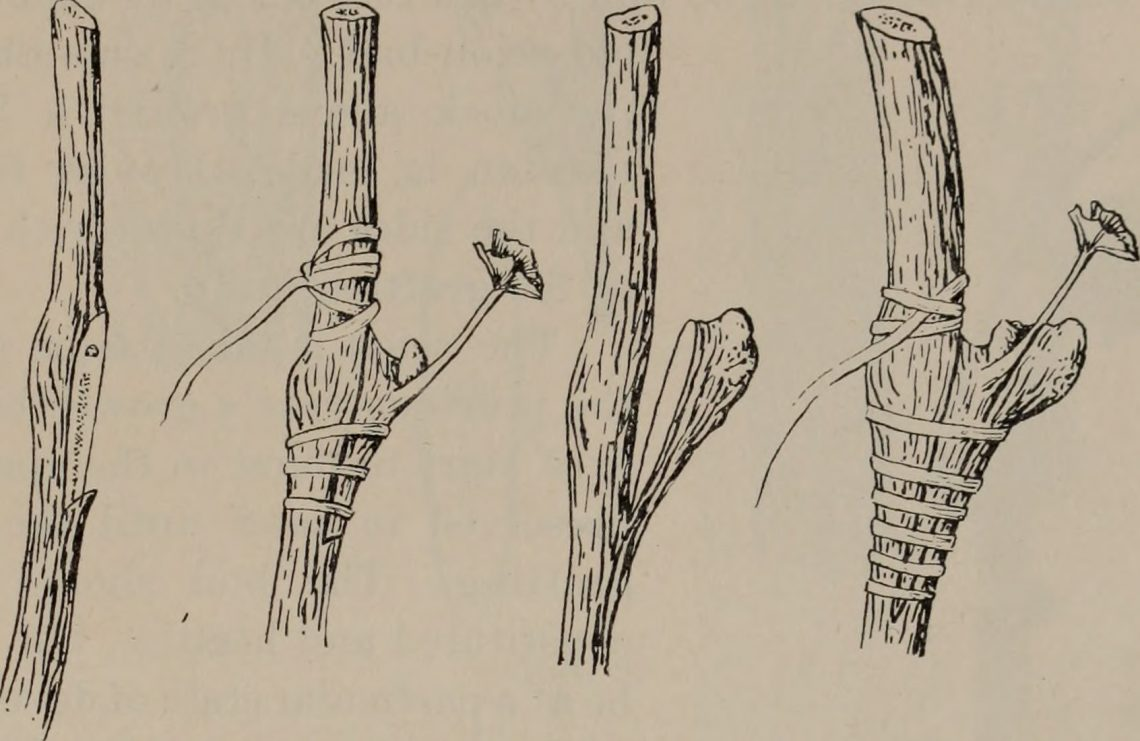 Grafting 101: An Introduction to Grafting - UC Botanical Garden