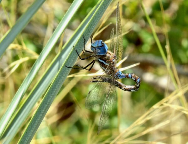 Blue dragonfly perched on palm with body furled