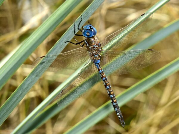 Blue dragonfly with winds outstretched resting on palm frond