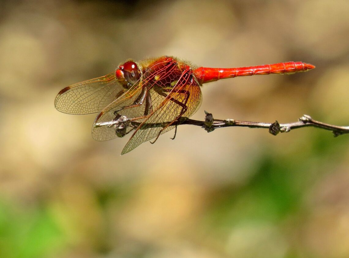 Red dragonfly perched on a twig