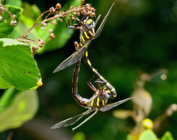 Two yellow and black dragonflies mating