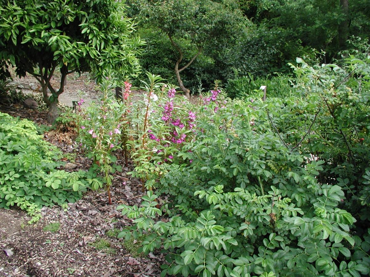 Chinese Medicinal Herb Garden UC Botanical Garden