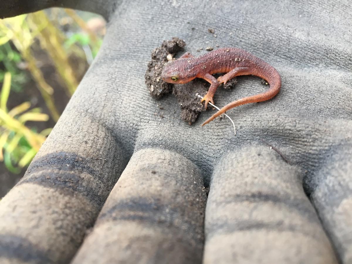 California newt (Taricha torosa)