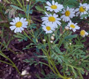 Argyranthemum hierrense