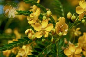 <i>Cassia coquimbensis</i>