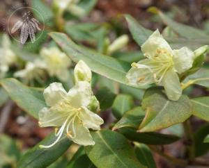 <i>Rhododendron keiskei</i> var. <i>ozawae</i>
