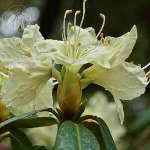 Rhododendron keiskei var. ozawae