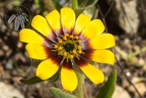 <i>Osteospermum clandestinum</i>