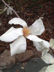 <i>Magnolia kobus</i>