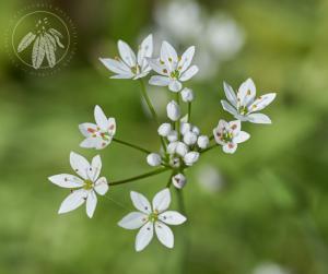 <i>Allium subhirsutum</i>