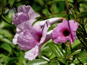 <i>Pandorea jasminoides</i>