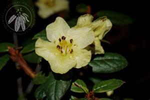 <i>Rhododendron seinghkuense</i>