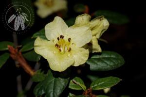 Rhododendron seinghkuense