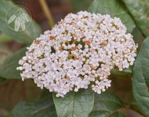 Viburnum tinus ssp rigidum