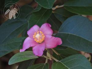 <i>Lagunaria patersonii</i>