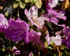 <i>Rhododendron kiusianum</i>