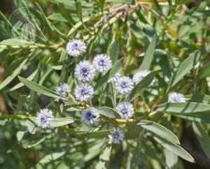 <i>Globularia salicina</i>