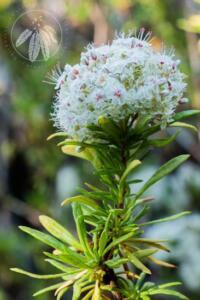<i>Eriogonum fasciculatum</i> var. <i>foliosum</i>