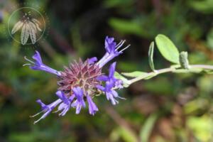 <i>Salvia clevelandii</i>