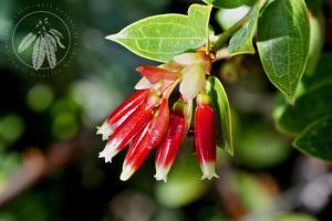 <i>Macleania benthamiana</i>