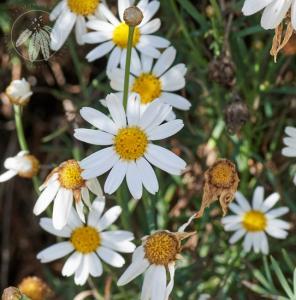<i>Argyranthemum haouarytheum</i>