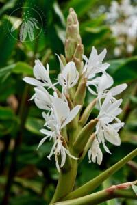 Hedychium aff. coronatum