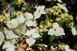 <i>Hydrangea chinensis</i>