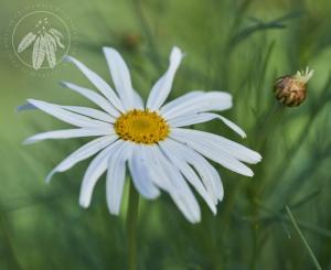 <i>Argyranthemum gracile</i>