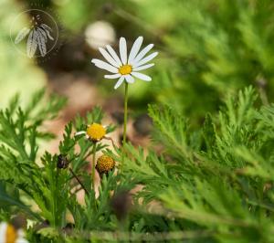 <i>Argyranthemum frutescens</i>