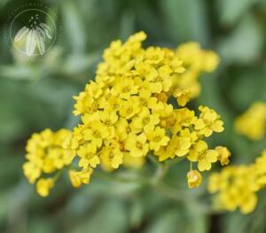 Aurinia corymbosa