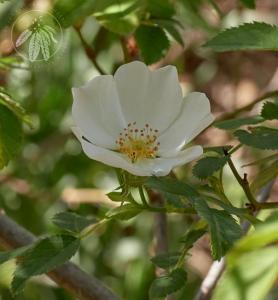 <i>Rosa obtusifolia</i>