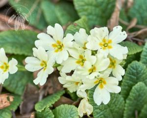 <i>Primula vulgaris</i>