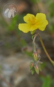 <i>Helianthemum nummularium</i> subsp. <i>obscurum</i>