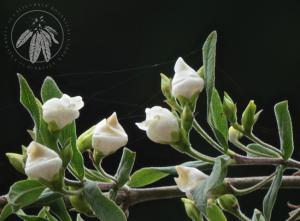 <i>Bowkeria verticillata</i>