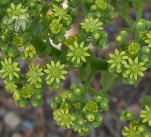 <i>Aeonium canariense</i> subsp. <i>christii</i>