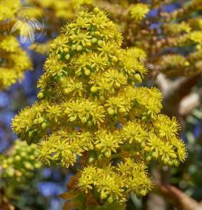 <i>Aeonium arboreum</i> var. <i>holochrysum</i>