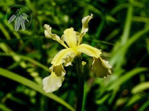 <i>Iris wilsonii</i>